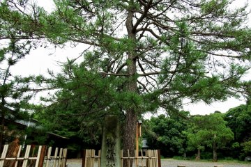 <p>This is the historical pine tree that the head priest Kehi Ujiharu used to hang the shrine flag praying for victory in the coming battle with Ashikaga armies. Actually, this is the second generation, and the original pine tree, with only its roots remaining, is standing beside it</p>