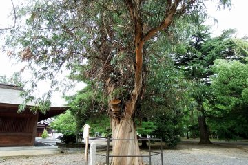 <p>Tsuruga city&#39;s natural monument, an eucalyptus tree. This tree grows in warm climate and it&#39;s rare that it grows in a cold climate like Tsuruga in the&nbsp;Hokuriku region</p>