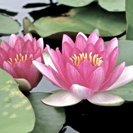 Ashikaga Flower Park: Water Lilies