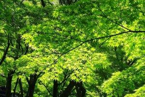 สวนเมเปิ้ลญี่ปุ่น ที่มีต้นเมเปิ้ลญี่ปุ่นปลูกอยู่เต็ม ร่มรื่นน่านั่งพักมาก