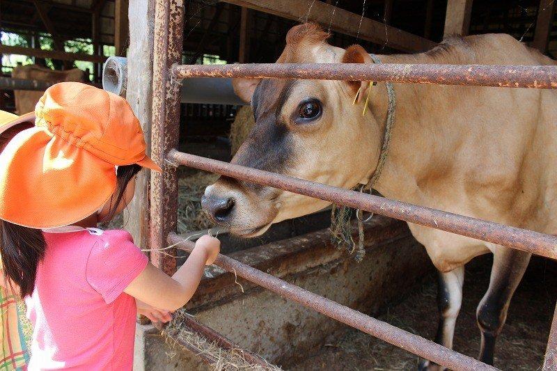 搾乳用のジャージー種。毎日牧草地に出て草を食む。牛もストレスフリーの飼育である