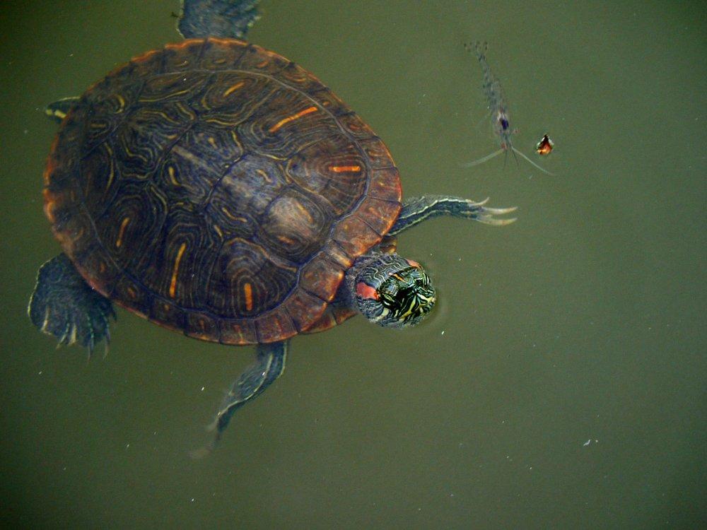 Y Wont My Turtle Eat Saruzawa Pond in Nara ...