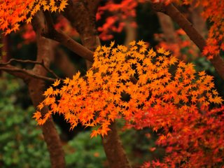 流れるような朱のグラデーション。自然美と庭師の技が融合したまさに究極の作品と言えよう!