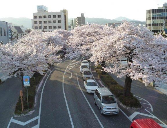 Sakura Matsuri Kota Hitachi