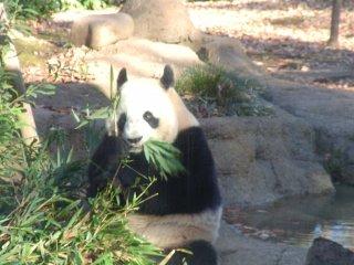 Les pandas, stars du zoo de Ueno