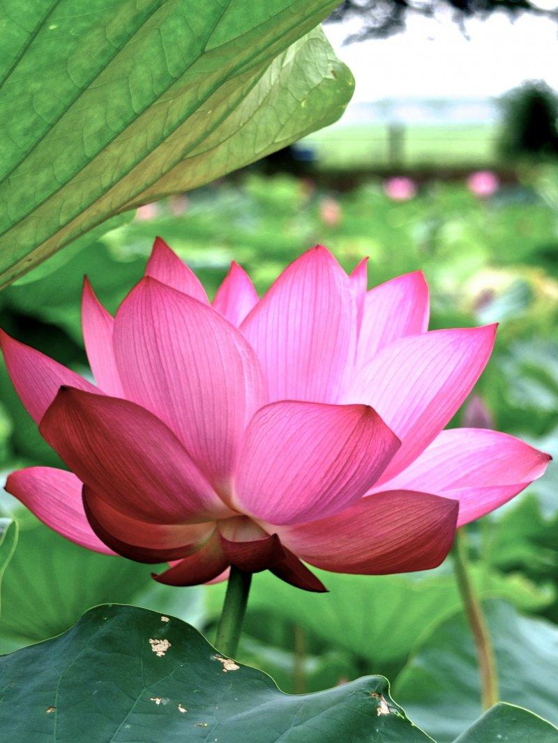 Guide To Enjoying Lotus Viewing 1 Kanagawa Japan Travel