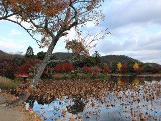 Daun teratai yang layu di kolam ketika musim gugur