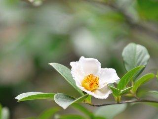 ในสวนของวัดมีต้นสาละอยู่หลายสิบต้น คุณสามารถชื่มชมความงามของต้นสาละในเทศกาลดอกสาละที่มีขึ้นทุกปีตั้งแต่วันที่ 15-30 กรกฏาคม