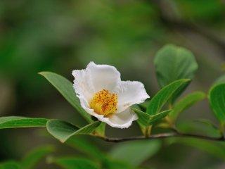 นี่คือดอกสาละ หรือ คามีเลีย เนื่องจากต้นสาละปลูกในภูมิประเทศของญี่ปูู่นไม่ได้ ดังนั้นจึงมัการปลูกต้นคามีเลียญี่ปุ่นแทนแล้วตั้งชื่อว่าสาละ ไม่มีใครรู้ว่าใครเป็นคนเริ่มต้นเรียกดอกคามีเลียว่า สาละ
