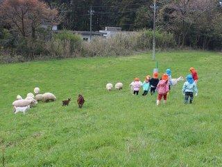 드넓은 목초지를 헤치고 다니는 양과 새끼들