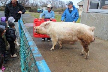 축산시험장은 연구기관이라 교배등도 연구목적이어서, 판매목적이 아니다.이 큰 돼지는 교배용 돼지