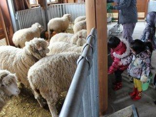 겨울철에는 양이나 염소에게 먹이주기 체험할 수 있다