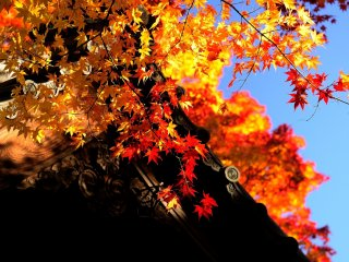 Daun musim gugur terang benderang di bawah langit tinggi biru
