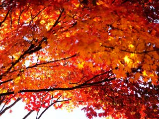 Melihat ke atas daun berwarna merah indah membuat Saya tidak mampu berkata-kata