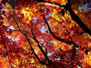 Indah, anggun... Saya tidak tahu kata yang tepat untuk menggambarkan daun musim gugur yang menawan ini