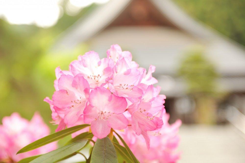淡い花弁に透過光の効果で輝いている まるで花灯篭だ