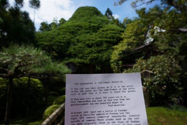 ต้น pine 700 ปีที่ทรงเหมือนเขาฟูจิ