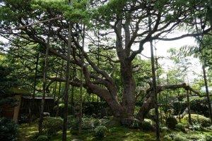 ชมต้น pine 700 ปีใกล้ๆ