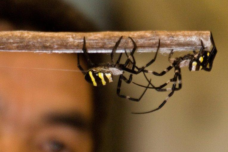 Samurai Spiders of Kajiki
