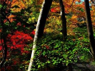 鮮やかに色付く裏山の楓