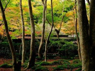 色付き始めた薄黄色の楓と翠深い苔