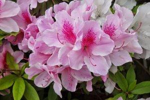ดอกอะเซลเลีย