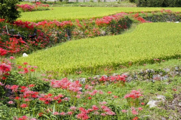 Red and red-and-white spider liliesline these terraced rice fields each September
