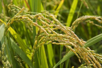 <p>Rice about ready for harvest</p>