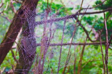 <p>One of several spider webs encountered at the start of the hike, visible largely due to the thick condensation gathered from the fog</p>