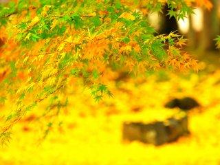 Lapangan diselimuti daun kuning berjatuhan bersinar seperti lantai berkarpet kuning