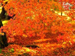 Ini adalah 'Daun Musim Gugur Eikando'!