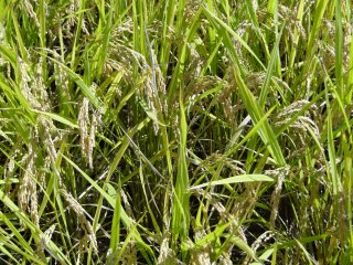 Un gros plan sur des grains de riz