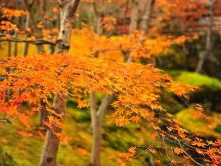 I moved from a green moss garden to the special area that was permeated with vermilion leaves