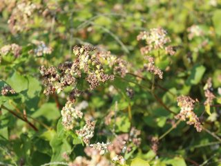 메밀의 수분은 바람과 벌레가 도와준다. 50가지나 되는 곤충이 메밀밭에 모이다