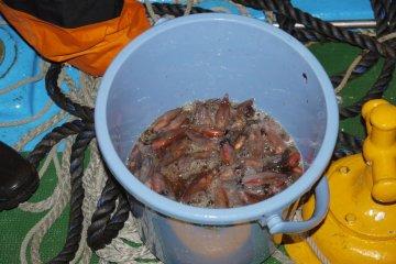 A bucket of hotaruika