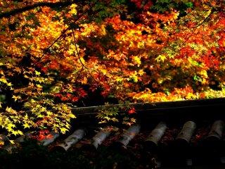 Кленовые листья перед зданием храма Нанзендзи