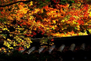<p>Maple leaves in front of the main building of Nanzenji Temple</p>