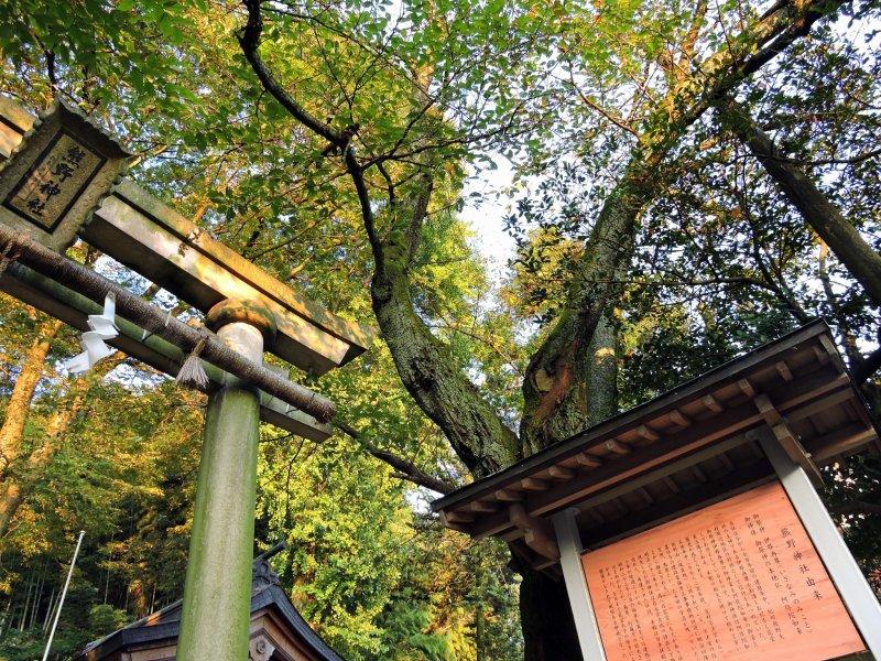 토리이 문과 그 위로 솟아 있는 높은 나무를 올려다보며