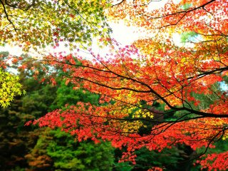 Daun-daun musim gugur berubah warnanya dengan sangat cepat di daerah pegunungan yang bersuhu dingin