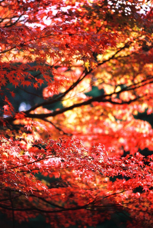 長谷池の南側の斜面一面が真っ赤に色づく