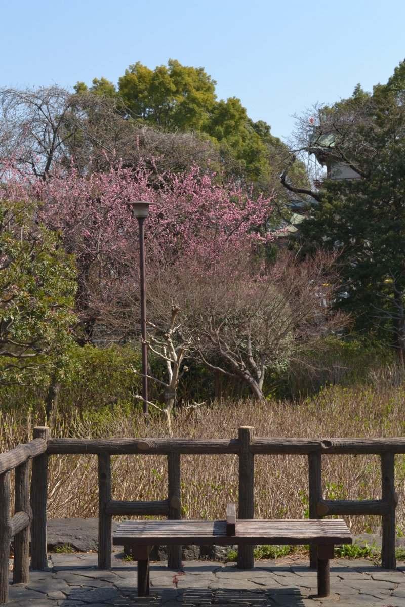 A park bench in the midst of sakura trees