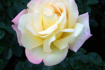 Rose Fiesta 2012 Spring