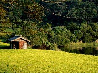 أشعة الشمس في وقت متأخرمن اليوم وحقل الأرز الذهبي