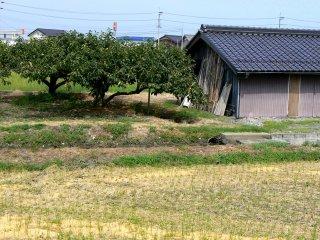 Persimmon fields near a field of stubble