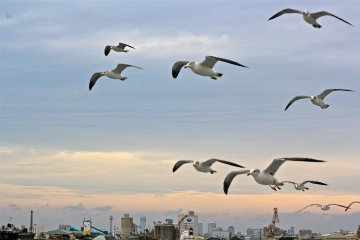 <p>A flock of seagulls will happily escort you along the Port of Chiba boat tour</p>