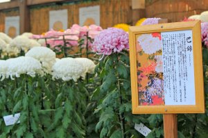 The Chrysanthemum Flower Exhibit 2014 will be on display from October 26 to November 24.