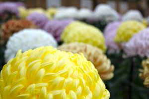 Japanese Chrysanthemums: alabor intensive process that the Japanese have been perfecting for centuries.