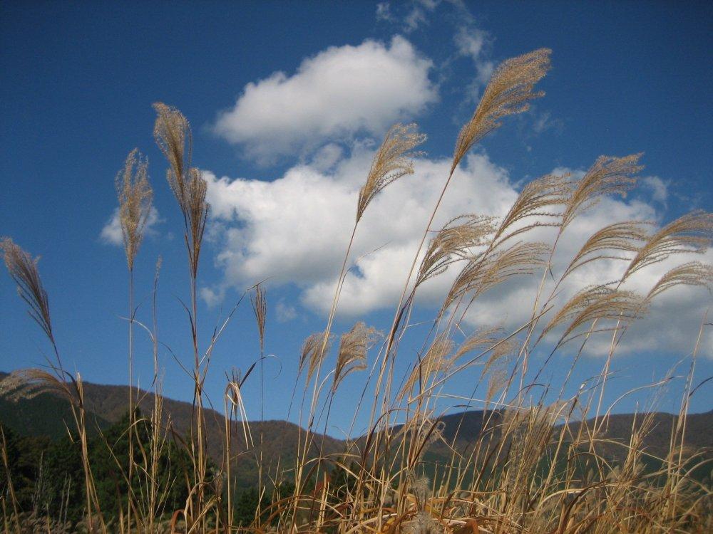 https://a0.cdn.japantravel.com/photo/16616-98132/1000/kanagawa-pampas-grass-in-sengokuhara-hakone-98132.jpg
