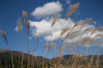 หญ้า Pampas ใน Sengokuhara, Hakone
