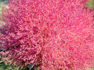 Bintang musim ini: kochia merah